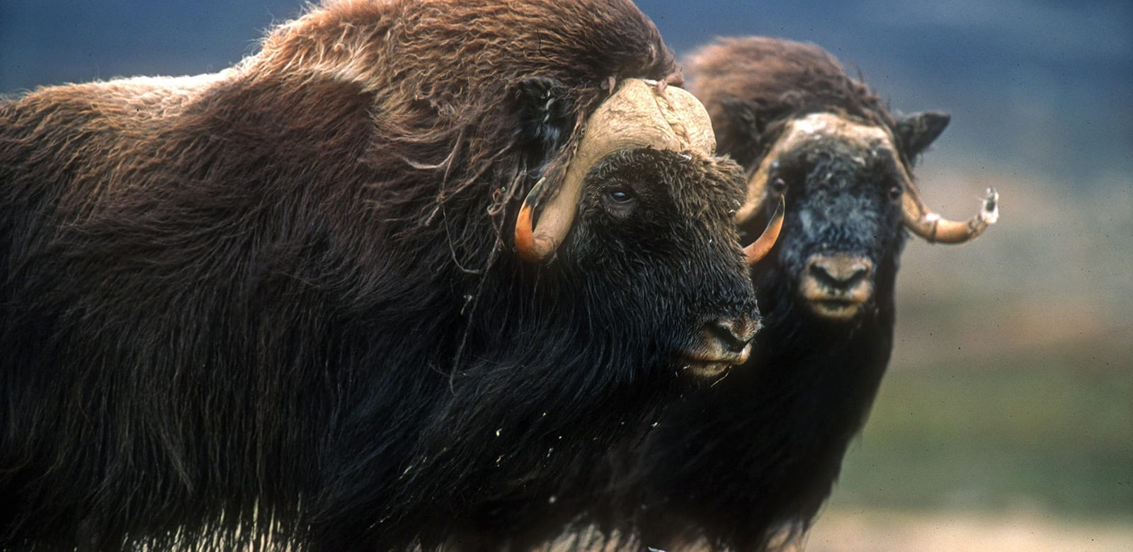 The Musk ox - Greenland Travel